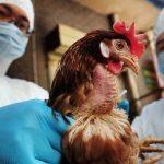 Come prevenire l'aviaria